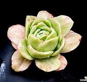 라즈아가금(중대) 27-104|Echeveria agavoides sp