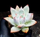 콜로라타hy 27-153 Echeveria colorata