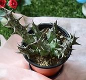 흑룡각|Stapelianthus decaryi Choux