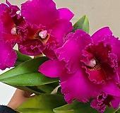 카틀레야.산양루비교배종.빨강색에노랑색립프.아주예쁜색.꽃대형종.향기좋은향.고급종.잘않나오는 품종.인기상품.꽃집화포있어요.잎사귀싱싱해요.|