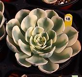 르노어딘 181015|Echeveria Lenore Dean