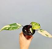 스트로베리 쉐이크 (동일품배송 )|Echeveria Strawberry