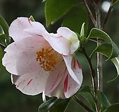 조경수 동백나무 27. 추바메가에시 13cm 사각포트|