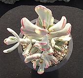 원종방울복랑금 1022|Cotyledon orbiculata cv variegated