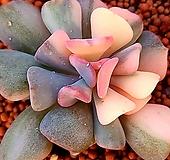 큐빅프로스티금102239 Echeveria pulvinata Frosty
