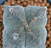 난봉옥선인장 잘생긴4봉입니다 가격대비사이즈좋아요  1072 산아래다육이|Haworthia truncata
