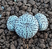 위트버젠스(1059) Conophytum Wittebergense