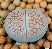 리톱스 쥴리 없는분들빨리보셔요  특가로드려요  1022 산아래다육이|Lithops julii var.fulleri