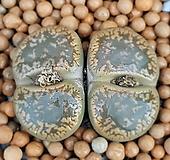 리톱스 c2  수입들어온묵둥이쌍두입니다  특가로드립니다 1050 산아래다육이|Lithops
