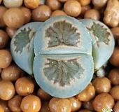 리톱스 국장옥 수입들어온좋은품종입니다 1028 산아래다육이|Lithops