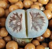 리톱스 국장옥 수입들어온좋은품종입니다  특가로드려요  1032 산아래다육이|Lithops