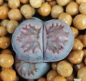 리톱스 바커스 수입들어온좋은품종입니다  1033 산아래다육이|Lithops