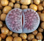 리톱스 바커스 수입들어온좋은품종입니다  특가로드려요  1035 산아래다육|Lithops